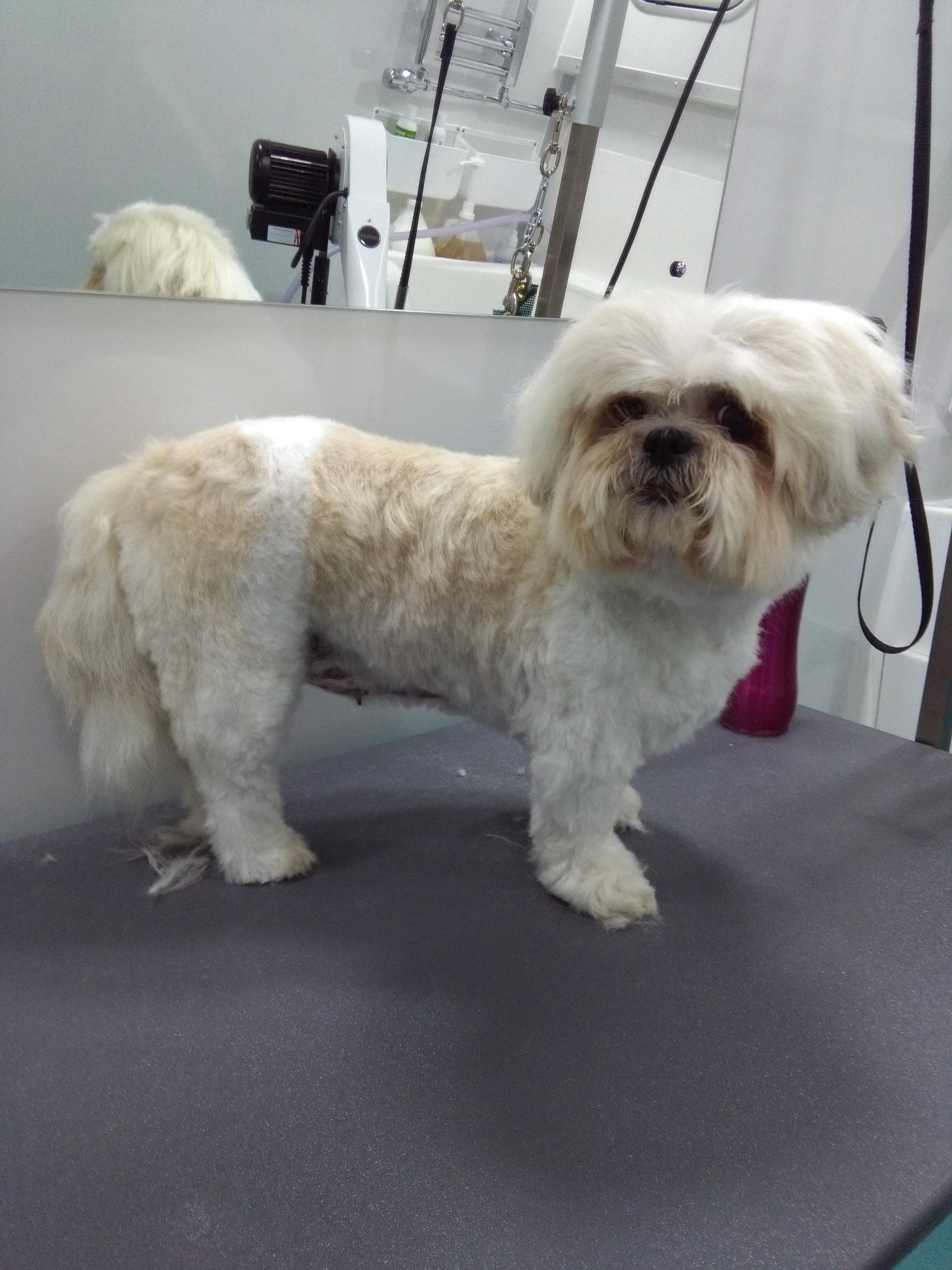 Shih Tzu Groomed Midleton 1 Dog Grooming Cork